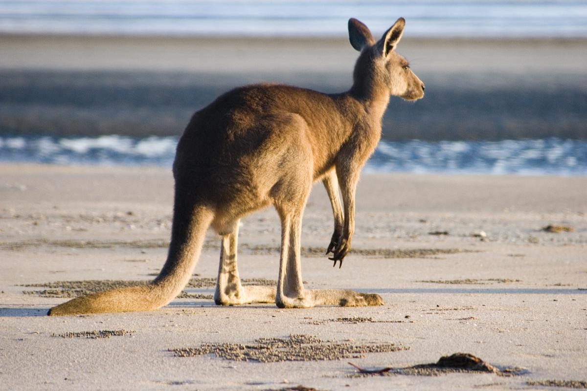 Optimized-Kangaroo-Island