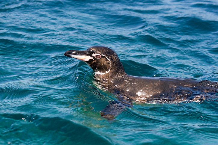Galapagos-pinguino un viaggio nella natura